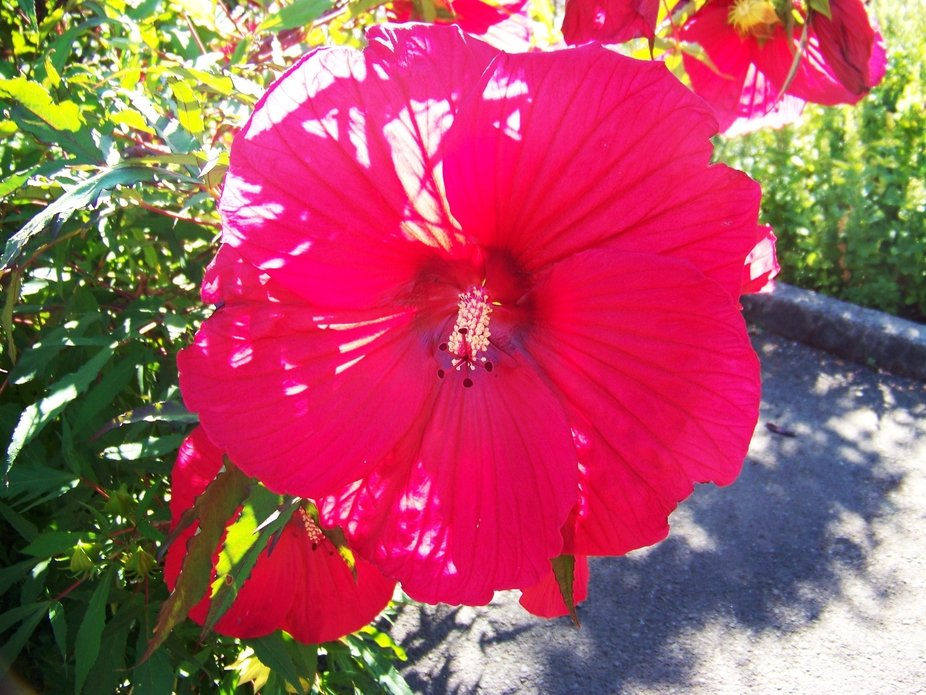 He planted a red hibiscus, in the center garden, to honor his beloved grandmother.