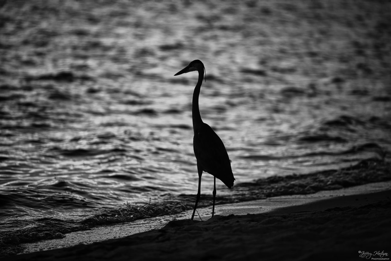 Great Blue Heron in silhouette.