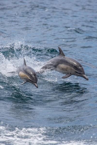 Double common dolphin