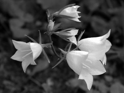 black and white peach bells