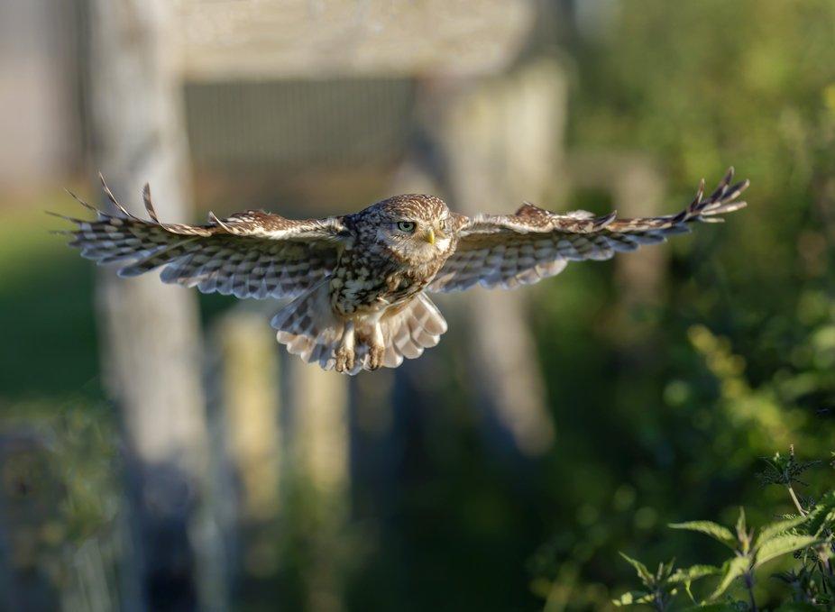 Little Owl taken in North Wales