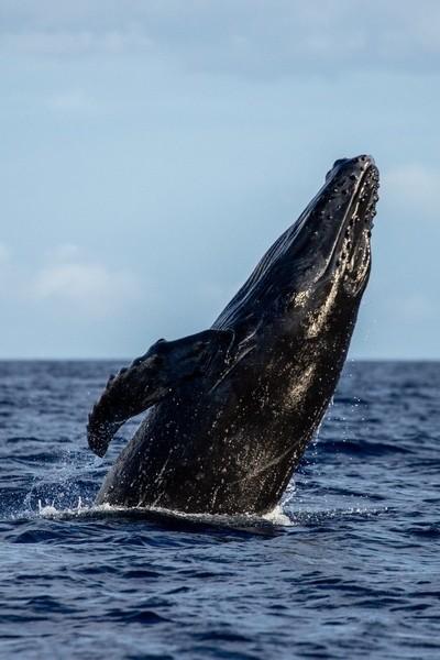 Humpback breaching calf