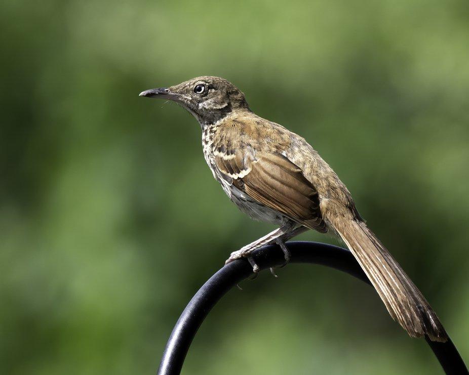 Juvenile Brown Thrasher