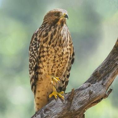 Red-Shouldered Hawk Juvenile DSC05125