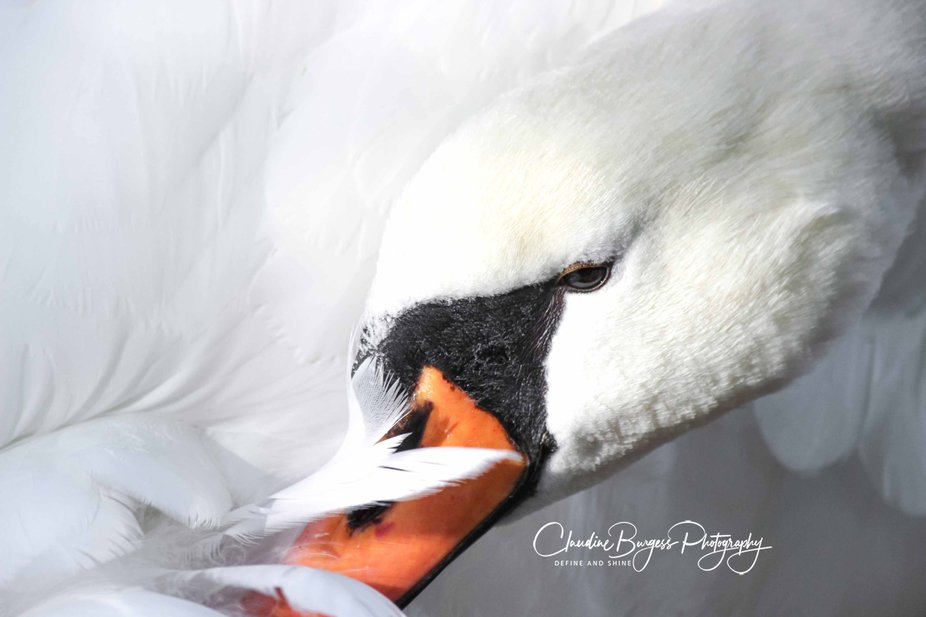 Photo taken in Belgium where we see white Swans , as overhere in Australia we would see black Swa...