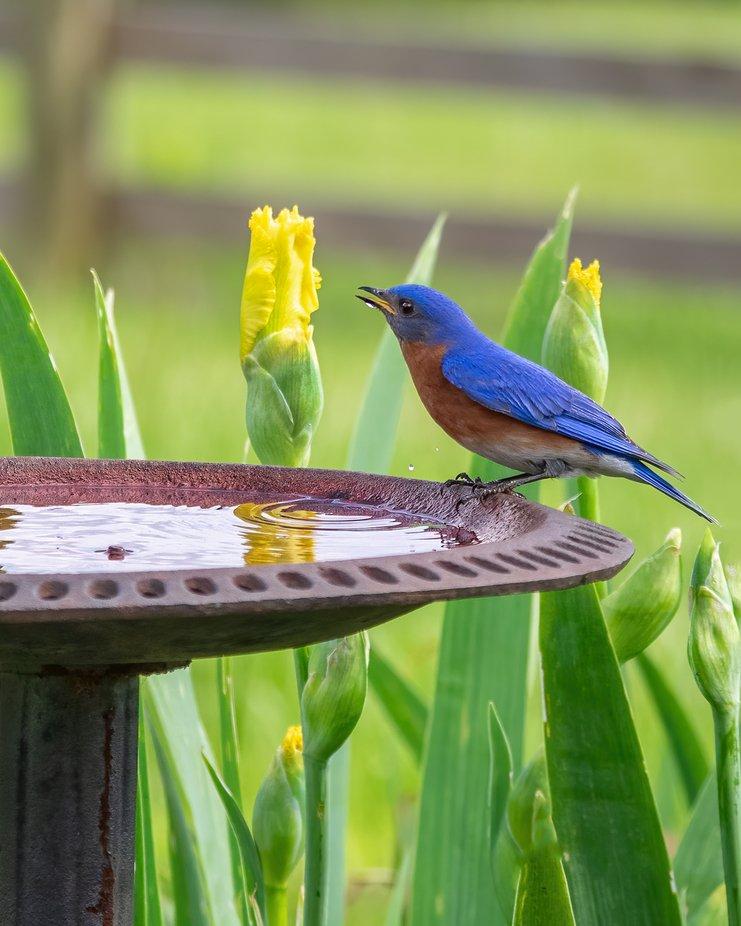 Eastern Bluebird in my Garden