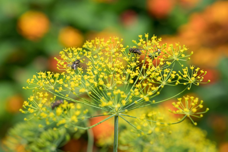 Flies Pollinating Dill Blooms