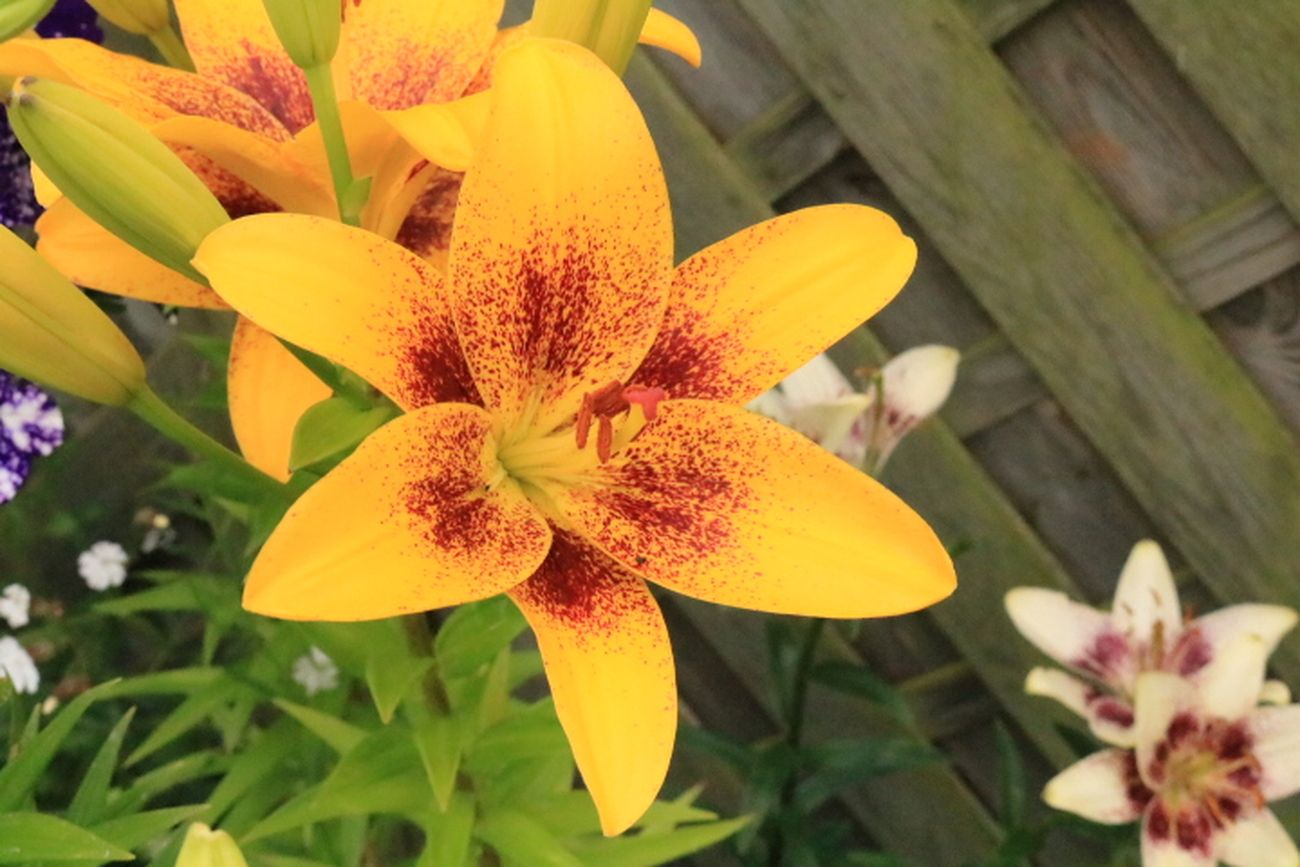 Yellow and red lilly