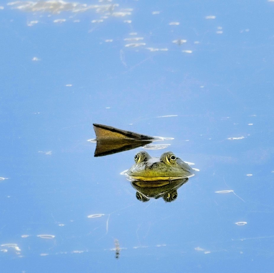 A frog waits in the water for me to leave so he can get back to shore...