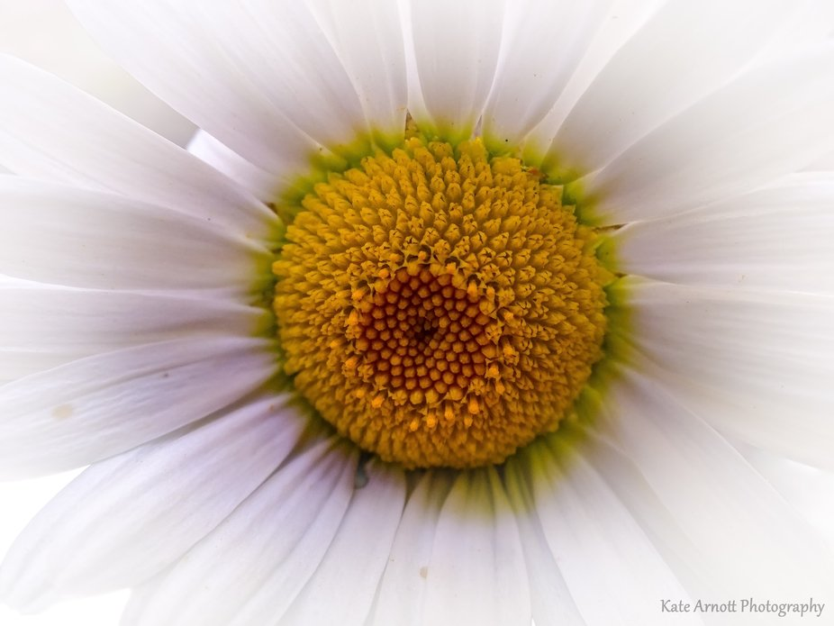 Daisy's center blooms
