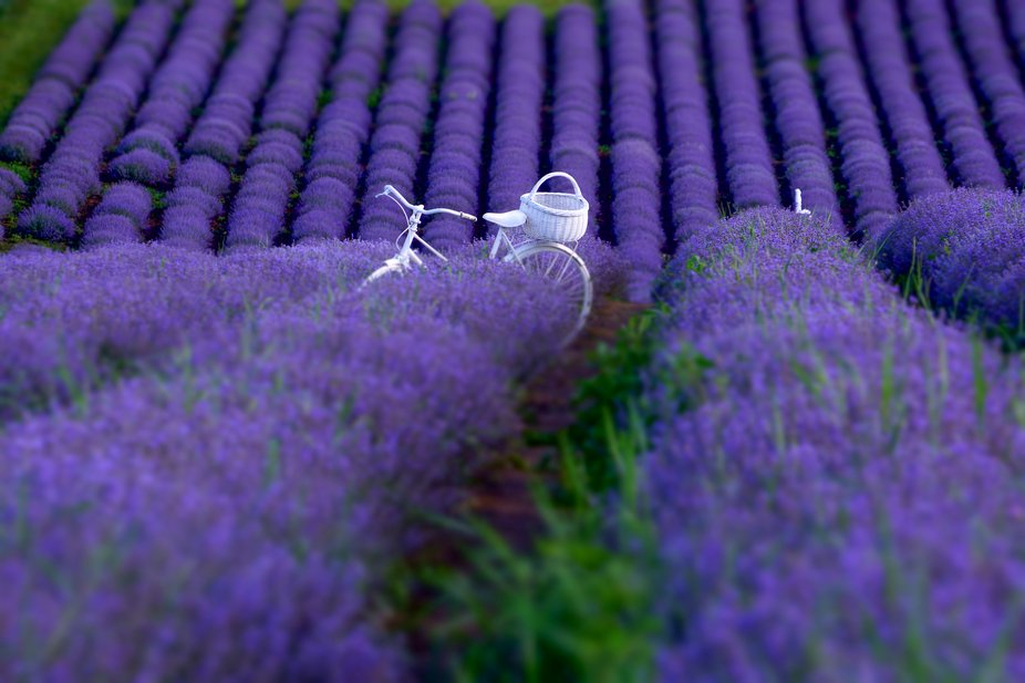 The miniature effect in the lavender field