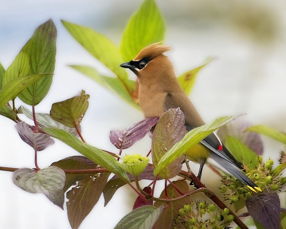 Cedar Waxwing is sitting in a tree along side the pond, resting from chasing bugs.