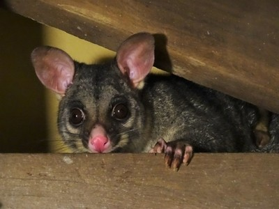 Possum in the Out House