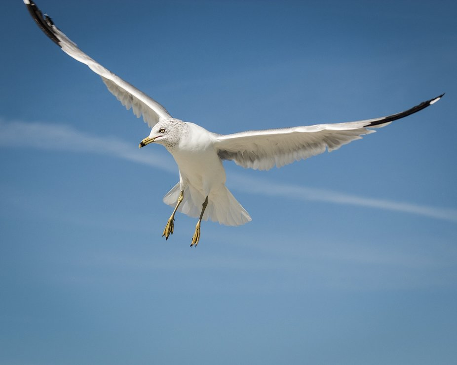 Seagull Hovering