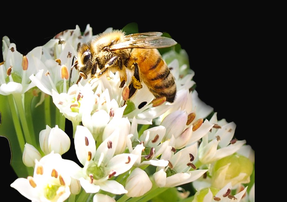 a honey bee on chive blossaom
