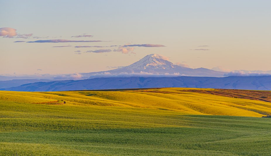 Fields of Ripening Wheat at Sunrise with Mt Adams in the Distance