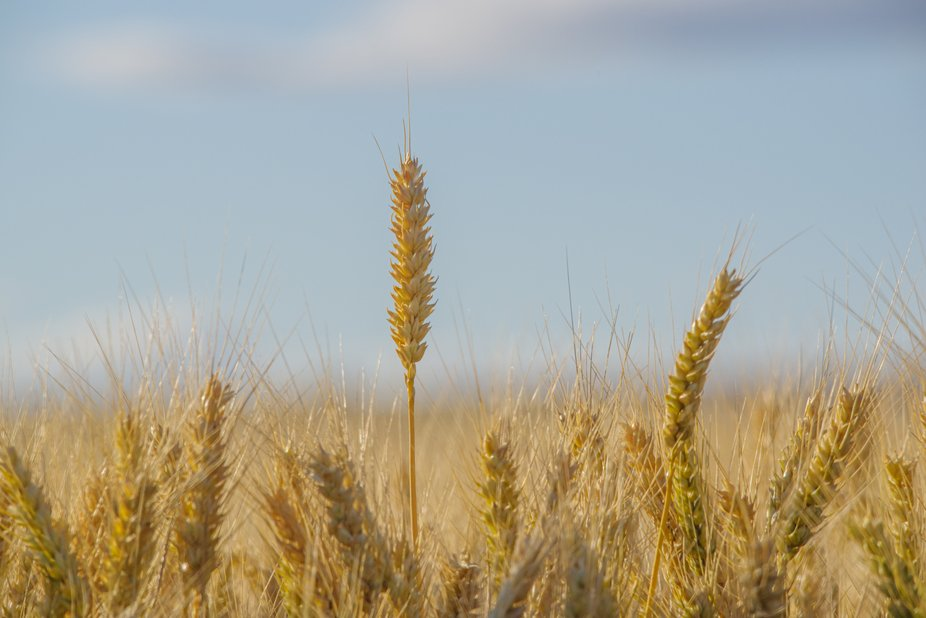Oregon Soft Wheat Almost Ready to Harvest