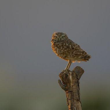 Burrowing Owl DSC06420