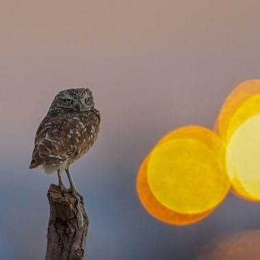 An ancient folklore in Chinese tells of a superhuman, Hou Yi,  who shot down 9 suns... This burrowing owl has some work ahead of him...