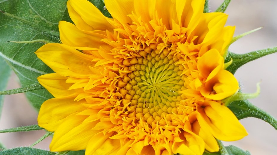 from our garden-a beautiful sunflower