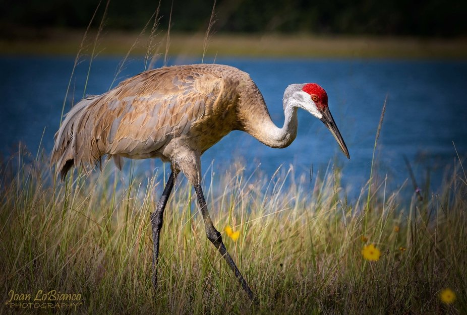 Mama Sandhill crane on a morning walk looking for bugs to feed her baby