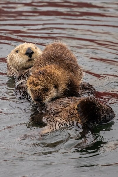 Sea otter mother and pup