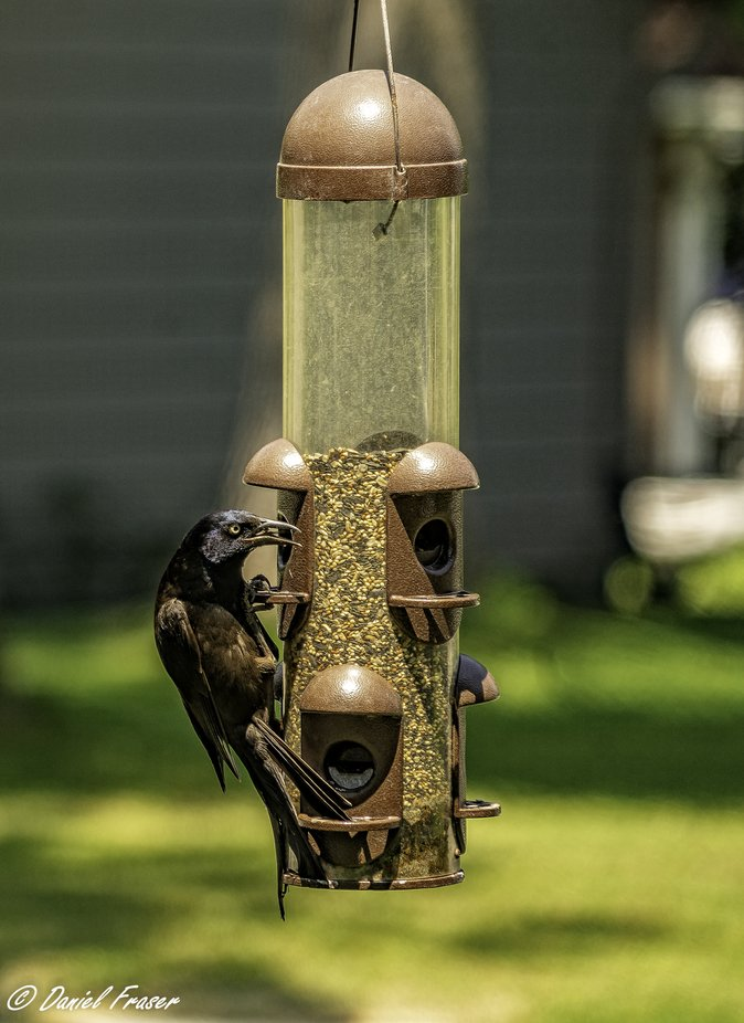 Also know as Krackle.  Bird feeder meant more for the song birds.  Found Krackles intelligence always finds a way with every bird feeder I tried.  About the photograph. Over 35 today.  Saw this bird and managed to catch his face in a way that gives him that predator look.