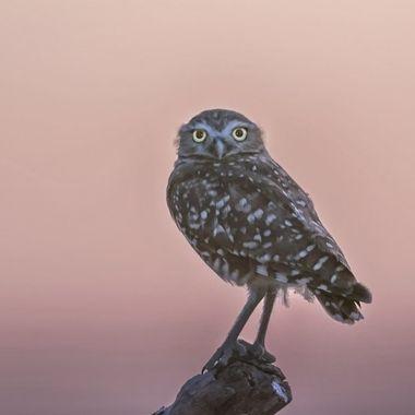 Burrowing Owl DSC06853
