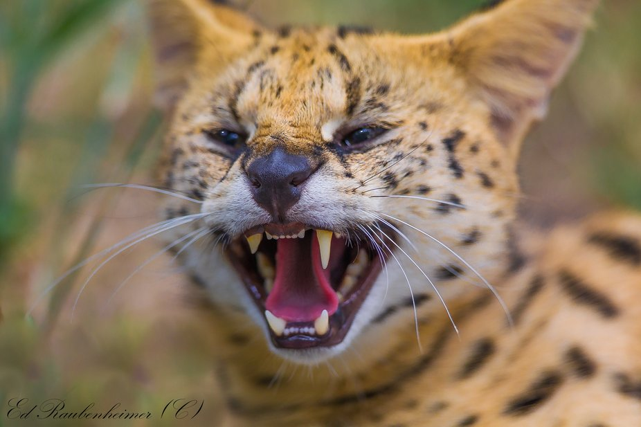 Angry Serval South Africa 2015
