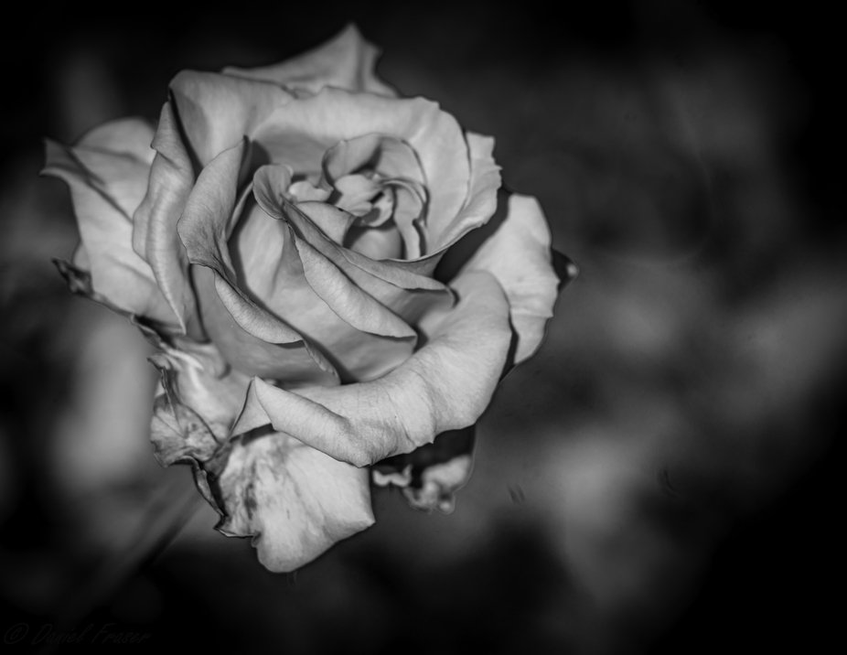 Always curious how a beautiful red rose would look in black and white and what do I get a mysterious rose in white.  The wonders of color and the fun of trying to get it just right.  That is what editing is all about.