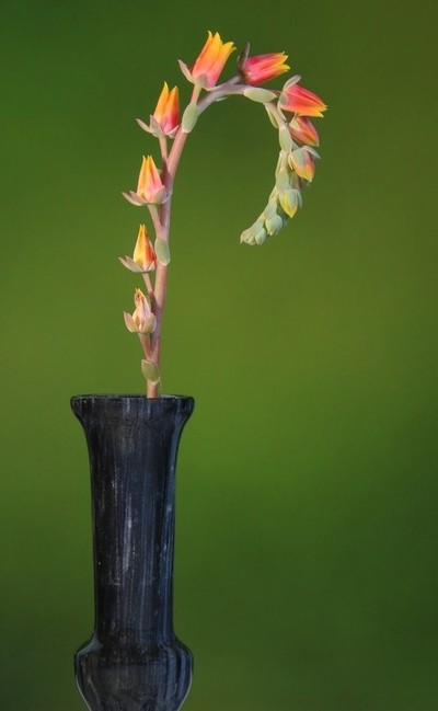 Echevria Flowers