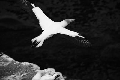 Gannet in Flight B&W