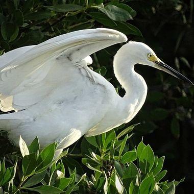 Snowy Egret at Sanibel Island, FL