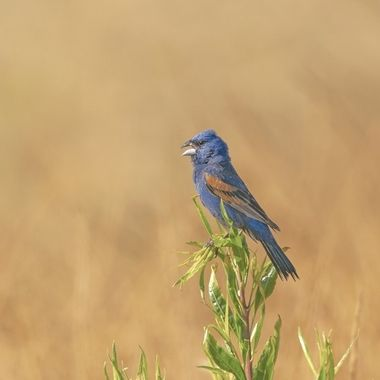 Blue Grosbeak DSC07450