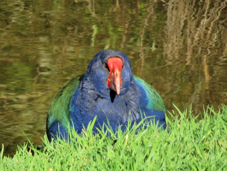 New Zealand native and rare Takahe walking up the grass bank from the pond at Mount Bruce Wildlif...