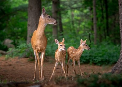 Mom and Fawns