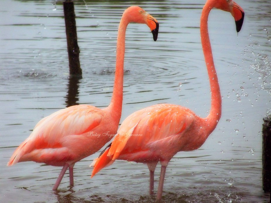 Two Flamingo's cooling down