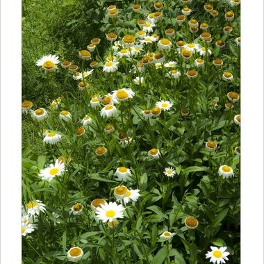3050  Row of Daisies