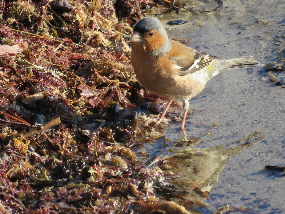 Male chaffinch hunting for bugs among the seaweed laying on Castle Point Beach in Winter, New Zea...