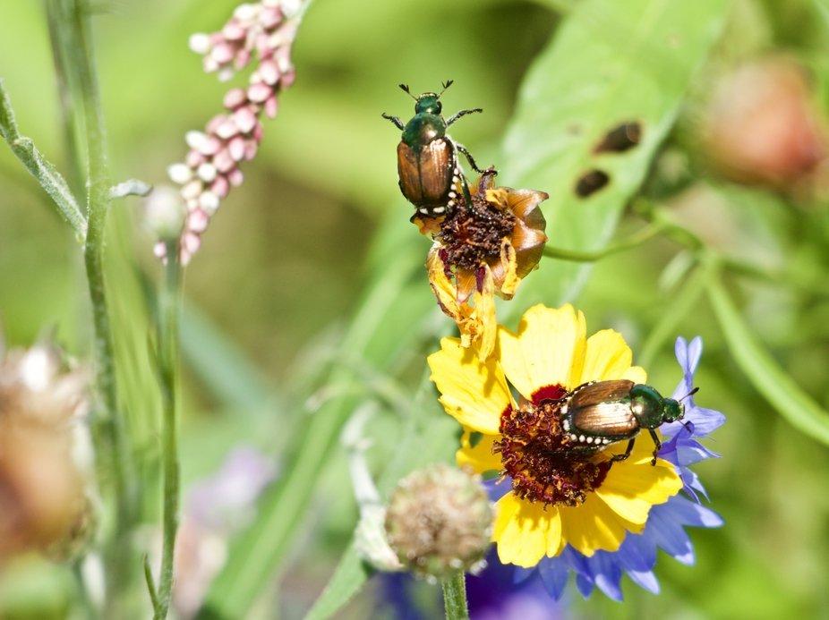 Beetles 1