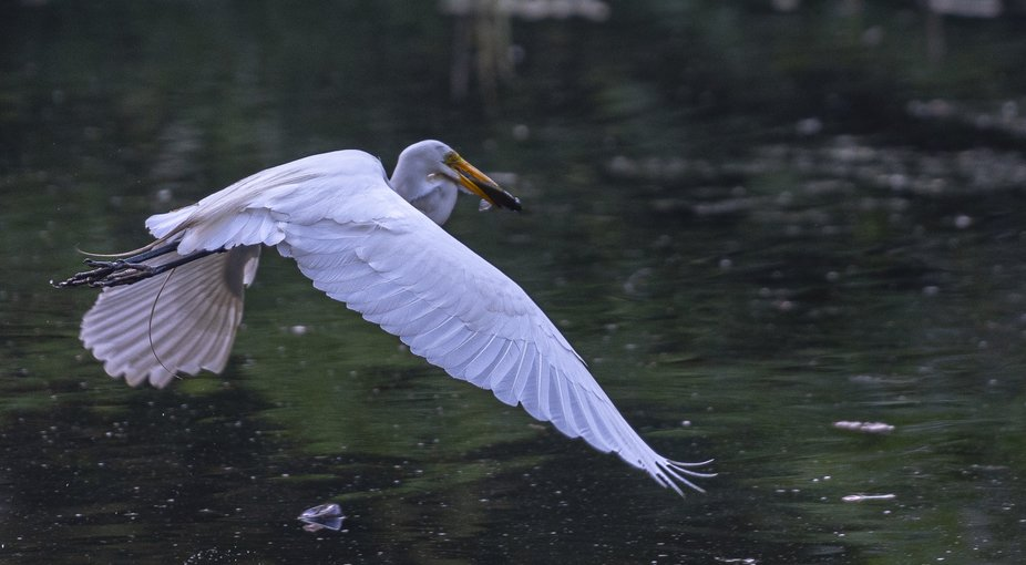 White Egret in Flight  with Fish Close Up
