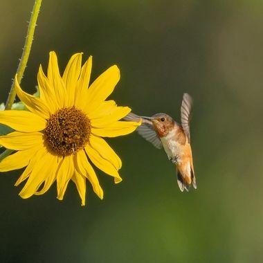 Allen's Hummingbird with Sun Flower DSC07675