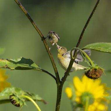american Gold Finch feeding DSC07792
