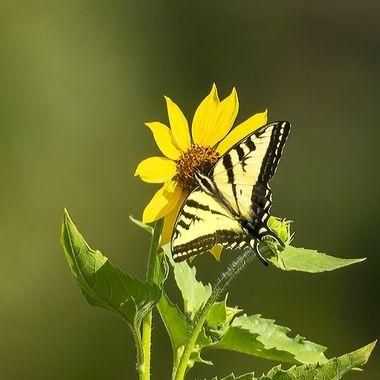 Western Tiger Swallowtail Butterfly DSC07731