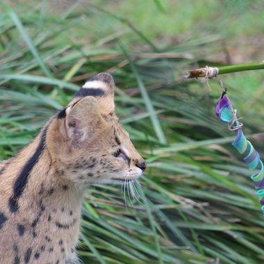 Serval playing