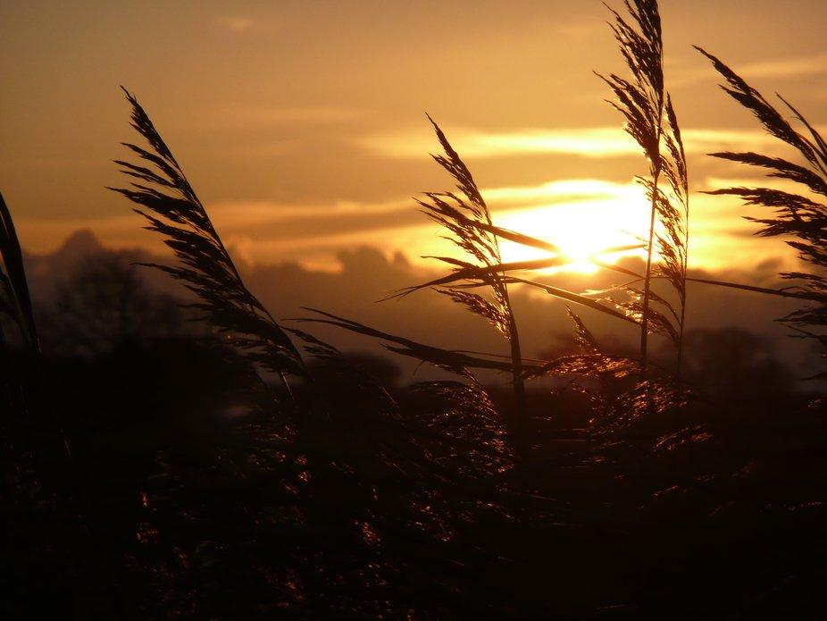Peering through the reeds at sunset.
