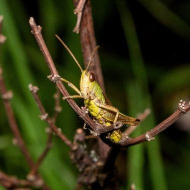 grasshopper - hdrg-2593