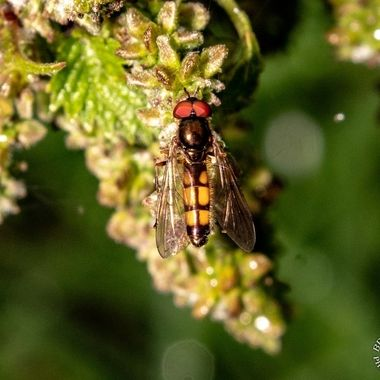 hoverfly-2540