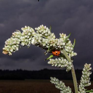 ladybird-2493