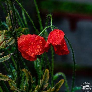 poppy-2455